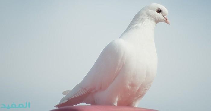 Pin By Eduard L On Pellumba Pigeon Breeds Cute Pigeon World Birds