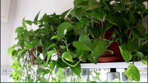افضل نباتات للمنزل