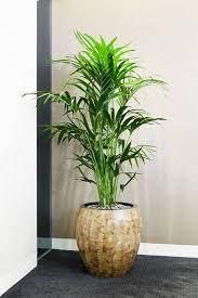 نبات كنزيا نبات لا يتطلب سوى القليل من العناية