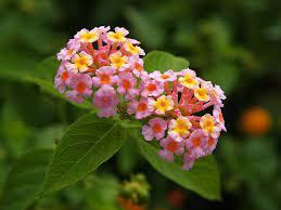 افضل نبات لطرد الناموس.