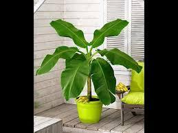 شجره الموز